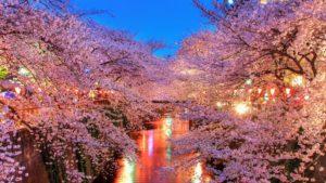 Sakura - Hanami